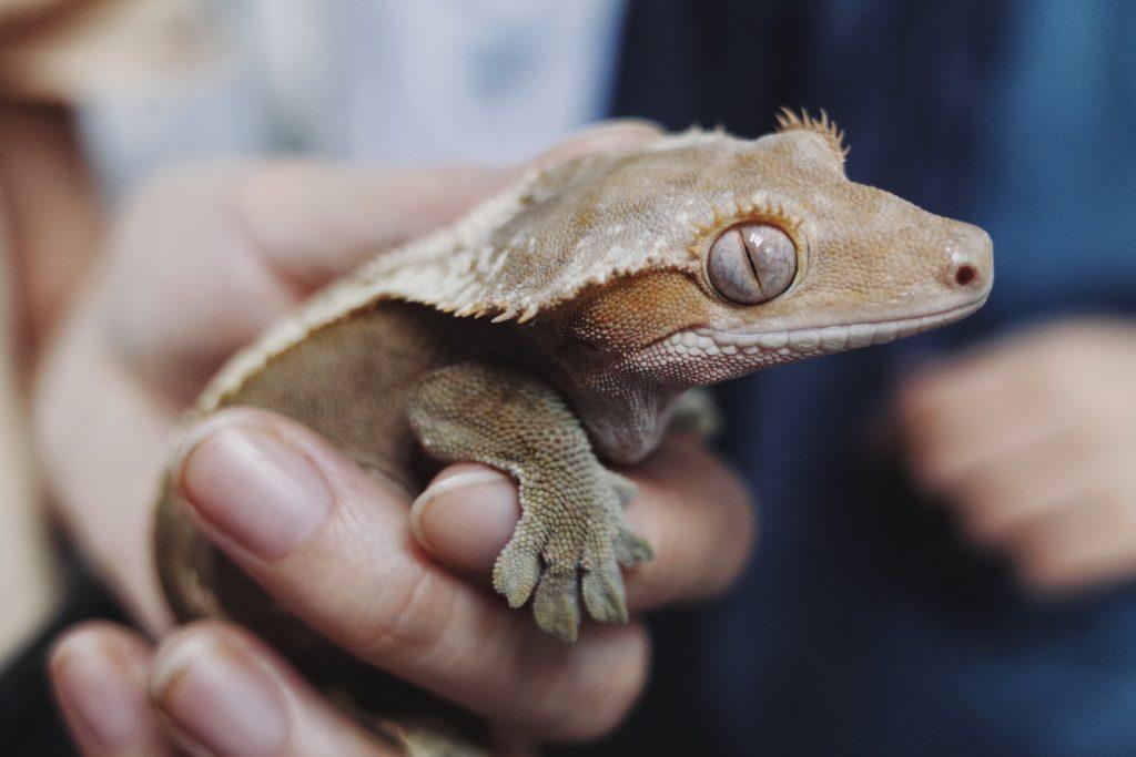 Un gecko léopard